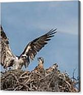 Osprey Arriving Home Canvas Print