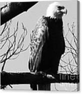 North American Bald Eagle Canvas Print