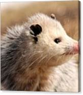 North American Opossum In Winter Canvas Print
