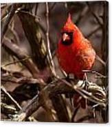 Northern Cardinal Male Canvas Print