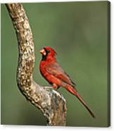Northern Cardinal Male Texas Canvas Print