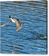 Northern Pintail Drake Taking Canvas Print