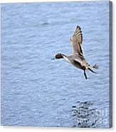 Northern Pintail Duck Canvas Print