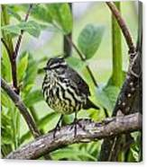 Northern Water Thrush Canvas Print
