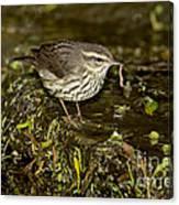 Northern Waterthrush Canvas Print