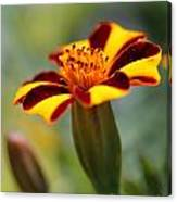 Novelty French Marigold Named Mr. Majestic Canvas Print