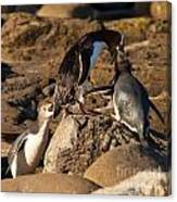 Nz Yellow-eyed Penguins Or Hoiho Feeding The Young Canvas Print