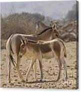 Onager Equus Hemionus 1 Canvas Print