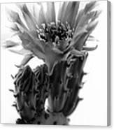 Opuntia Basilaris Cactus Canvas Print