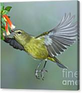 Orange-crowned Warbler Canvas Print