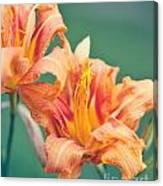 Orange Double Daylily Canvas Print