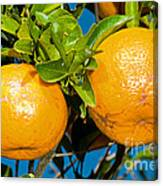 Orange Fruit Growing On Tree Canvas Print