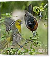 Orchard Orioles Canvas Print