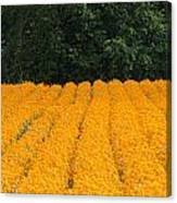 Oregon Orange Field Panoramic Canvas Print