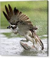 Osprey With A Living Fish, Fischadler Canvas Print