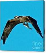 Osprey With Catch Canvas Print