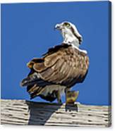 Osprey With Fish In Talons Canvas Print