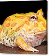 Pac Man Frog Ceratophrys Canvas Print
