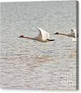 Pair Of Flying Trumpeter Swans Cygnus Buccinator Canvas Print