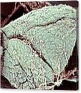 Pancreas Lobes, Sem Canvas Print