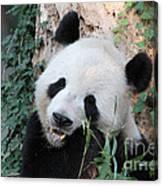 Panda Eating Canvas Print