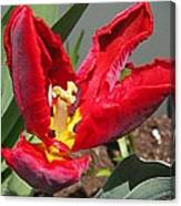 Parrot Tulip Named Rococo Canvas Print