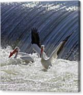 Pelican Drama Canvas Print