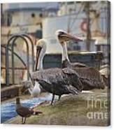 Pelican Duo Canvas Print