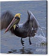 Pelican Takeoff Canvas Print