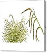 Pendulous Sedge (carex Pendula) Canvas Print