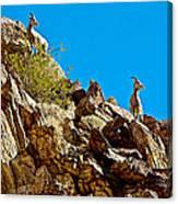 Peninsular Bighorn Sheep From Borrego Palm Canyon Trail In Anza-borrego Desert Sp-ca Canvas Print