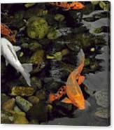 Swimming Koi Canvas Print