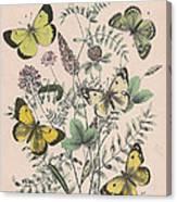 Pieridae Canvas Print