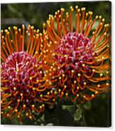 Pincushion Flowers Canvas Print
