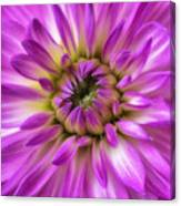 Pink Dahlia Close Up Canvas Print
