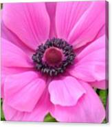 Pink Anemone  Canvas Print