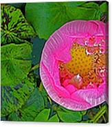 Pink Lotus In Backyard Of Home In Bangkok-thailand. Canvas Print