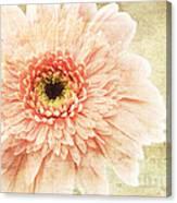 1 Pink Painterly Gerber Daisy Canvas Print