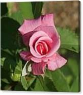 Pink Rose... Canvas Print