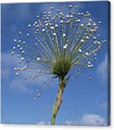 Pipewort Grassland Plants Blooming Canvas Print