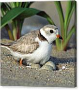 Piping Plover Charadrius Melodus Canvas Print