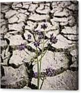 Plant Growing Through Dirt Crack During Drought   Canvas Print