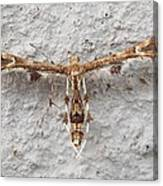 Plume Moth Canvas Print