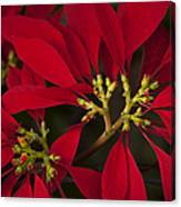 Poinsettia  - Euphorbia Pulcherrima Canvas Print