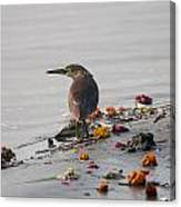 Pond Heron Canvas Print