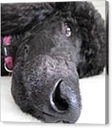 Poodle Close-ups 1 Canvas Print