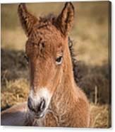 Portrait Of Newborn Foal Canvas Print