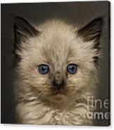 Precious Baby Kitty Canvas Print