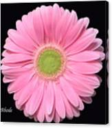 Pretty Pink Gerbera Daisy Canvas Print