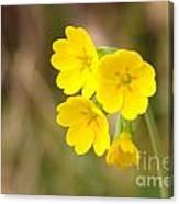 Primula Cowslip Fairy Cups Canvas Print
